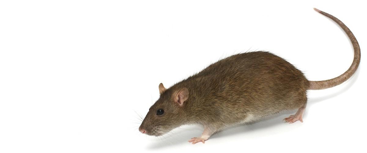 la rata noruega
