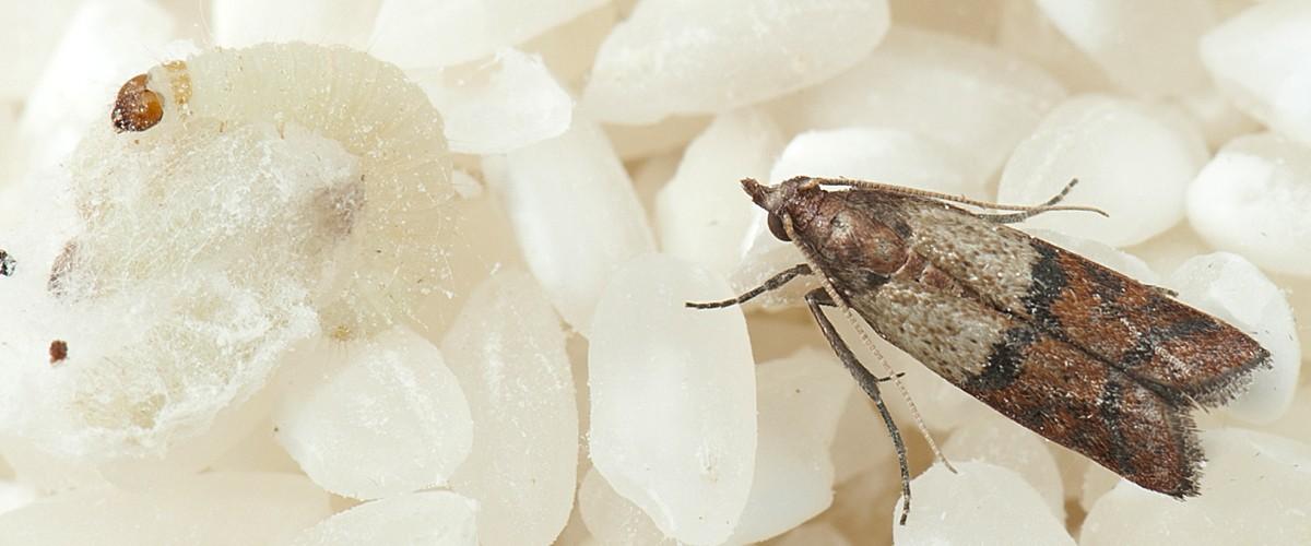 Palomilla india de la harina bichos control de plagas - Productos de la india ...